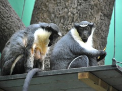 В Московский зоопарк приехала мартышка диана