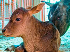 """На """"Городской ферме"""" ВДНХ родился теленок горбатой коровы зебу"""