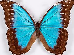 Изумрудных пчел и разноцветных бабочек покажут в Дарвиновском музее