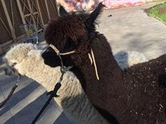 """На """"Городской ферме"""" ВДНХ теперь можно выйти на прогулку с альпаками"""