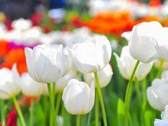 Праздничная подсветка и миллионы тюльпанов украсят Москву к 9 Мая