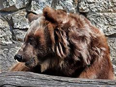 Зима пришла: в московском зоопарке медведи залегли в спячку